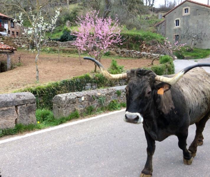 Vaca Tudanca en Camino Lebaniego